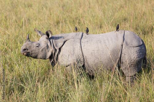 Foto op Canvas Neushoorn One horned rhinoceros in Kaziranga National Park