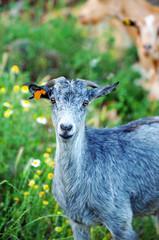 Eye goat