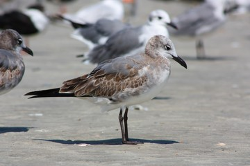 Juvenile Bonaparte's Gull on a Secluded Beach