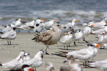 Juvenile Seagull within a Group of Terns