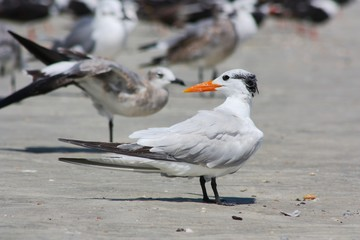 Royal Tern within a Group of Seagulls