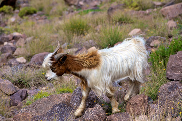 Moroccan Mountain Goat