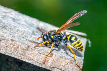 wasp resting