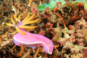 Nudibranch Sea Slug