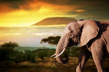 Elephant on savanna. Mount Kilimanjaro at sunset. Safari © Photocreo Bednarek