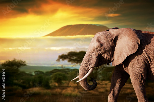 Elephant on savanna. Mount Kilimanjaro at sunset. Safari