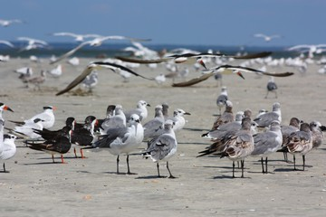Group of Gulls with Black Skimmers Flying