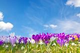 Krokusse auf der Frühlingswiese