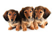 Three Dachshund puppies