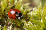 Macro red ladybug on a fluffy moss spring. horizontal