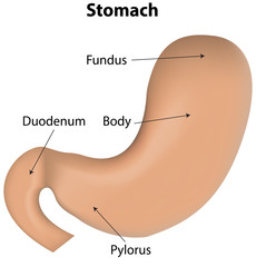 Stomach Labeled Diagram