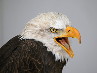 Talking Bald Eagle