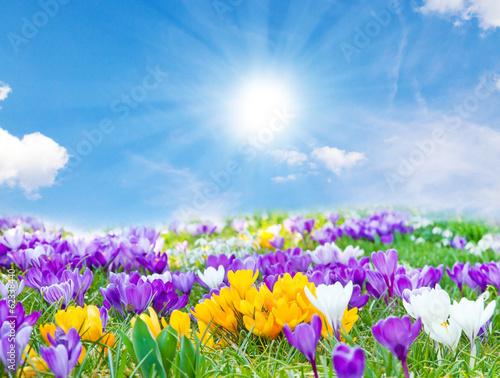 Fotobehang Krokus Der Frühling kommt