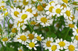 Chamomile flowers, close up