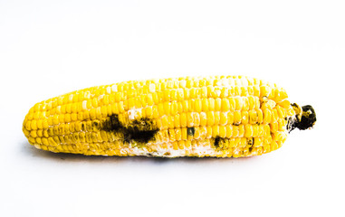 Close up of rotten boiled corn with fungi on white