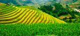 Pola ryżowe w Wietnamie - 62339269