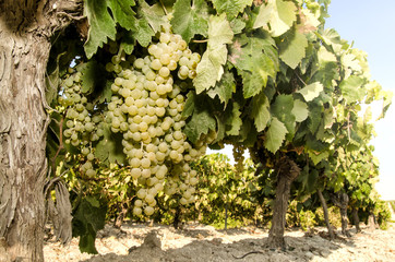Grapes in vineyard on sunny day