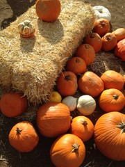 Pumpkins and hay bale in rural pumpkin patch setting.