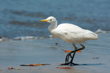 Cattle Egret walking on the beach