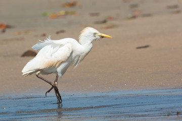 Grizzled Cattle Egret walking up the beach