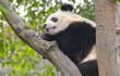 Young Giant Panda Sleeping in Tree, Chengdu, China