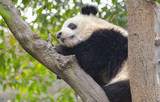 Young Giant Panda Sleeping in Tree, Chengdu, China