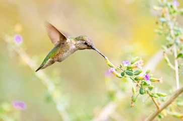 Anna's Hummingbird feeding on Sage Flowers. Arizona