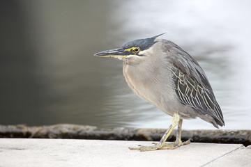 Young Grey Heron Closeup