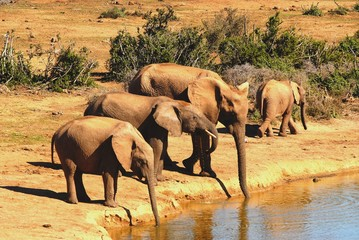 Elephants drinking together