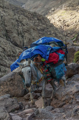 Donkey descending from Refuge du Toubkal