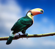 Toco Toucan against sky