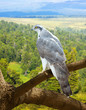 Goshawk  in wildness area