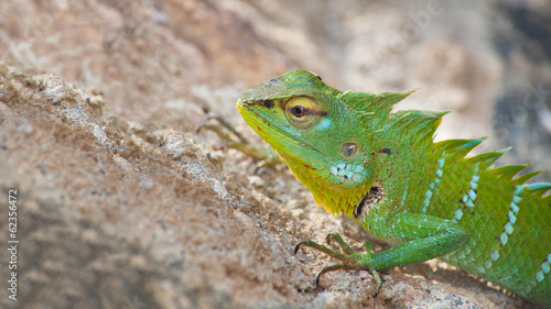 Green chameleon on the sand