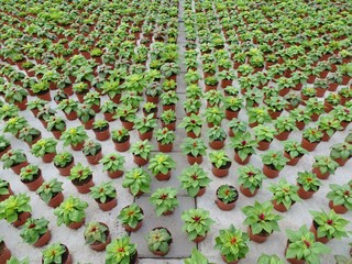 New Celosia plants  in rows in a glasshouse
