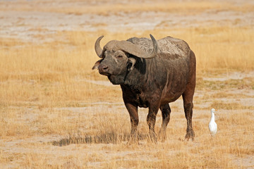 African buffalo, Amboseli National Park