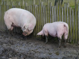 Domestic pigs burrowing  in the mud at a farm