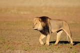 Walking African lion, Kalahari desert