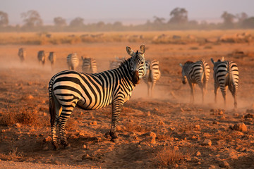 Plains Zebras, Amboseli National Park