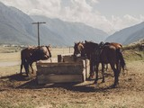 horses near mountains
