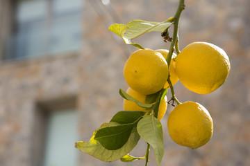 Zitronen an einem Baum, Spanien, Mallorca