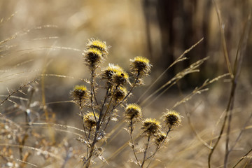Dry yellow flower in the field