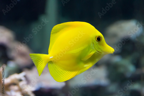 Zebrasoma yellow tang fish