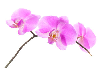 Group of pink orchid flowers isolated on white background