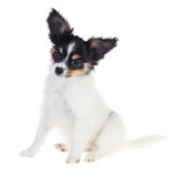 Papillon puppy sitting