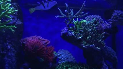 Korallen fluoreszieren unter Blaulicht