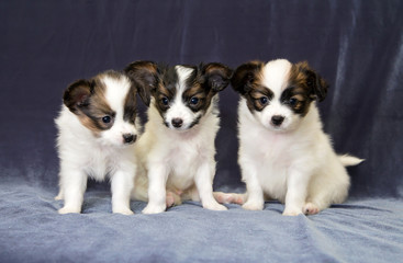 Three small puppy Papillon