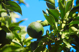 Fresh green oranges on tree