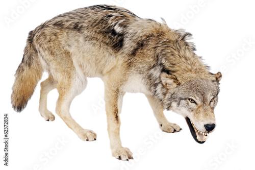 Deurstickers Wolf Wolf