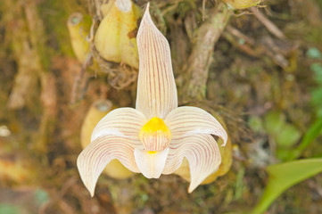 Forest orchid flowers in Phuluang Wildlife Sanctuary at Loei, Th