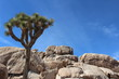 Joshua Tree in Joshua Tree National Park California